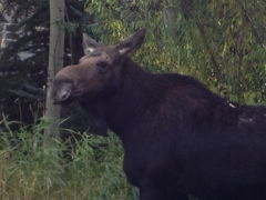moose october 2013 (800x600)